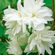 Dwarf Mock Orange