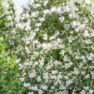 mock orange plant - philadelphus x virginalis