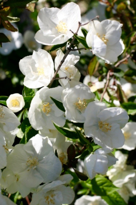 Virginal Mock-Orange FOR SALE | Philadelphus x virginalis