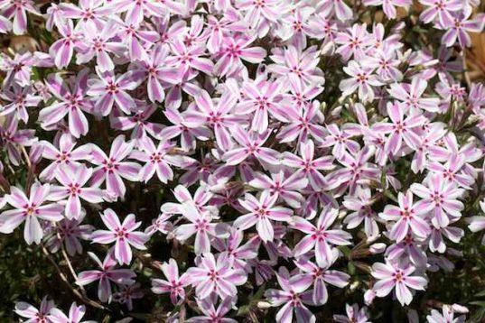 Buy Perennials Online - Moss Phlox
