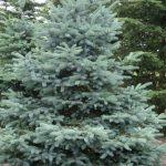 Colorado Blue Spruce Plant SALE | Picea pungens 'Glauca'