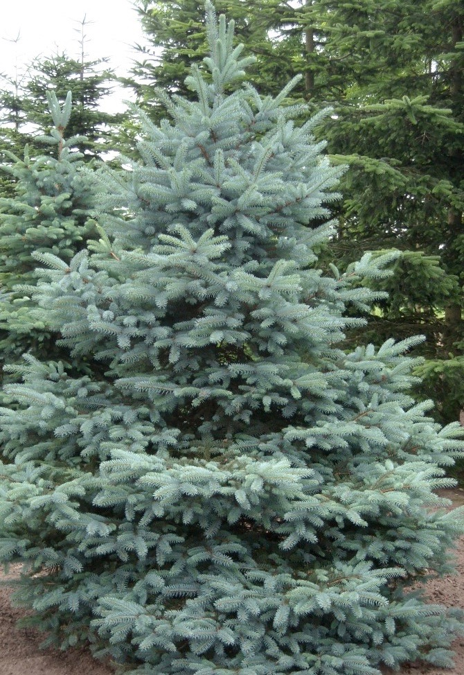 colorado blue spruce plant for sale picea pungens. Black Bedroom Furniture Sets. Home Design Ideas
