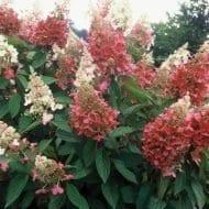 Pink Diamond Hydrangea shrub 190x190 - Hydrangea paniculata 'Interhydia' Pink Diamond