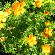 orange potentilla plant - potentilla fruticosa 'Orangeade'