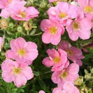 Buy Pink Potentilla | Potentilla fruticosa 'Pink beauty'