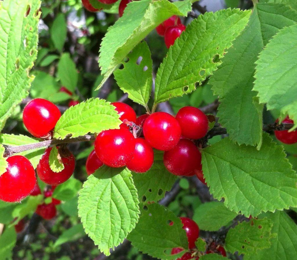 Nanking Cherry Bush For Sale Prunus Tomentosa Canada