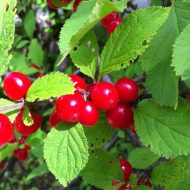 Nanking Cherry Bush FOR SALE | Prunus tomentosa