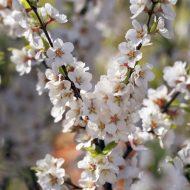 Prunus tomentosa flower 190x190 - Prunus tomentosa
