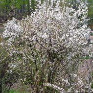 Prunus tomentosa tree 190x190 - Prunus tomentosa