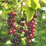 hokecherry FOR SALE | Prunus virginiana