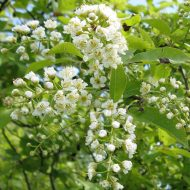 Prunus-virginiana-plum-cherry