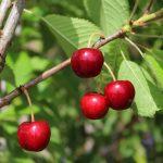 Crimson Passion Cherry | Prunus x kerrasis 'Crimson Passion'