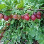Hinnomaki Red Gooseberry Plants | Ribes uva-crispa 'Hinomaki'