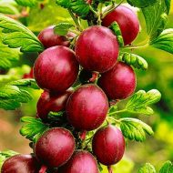 Red Gooseberry PLANTS FOR SALE | Ribes uva-crispa 'Pixwell'