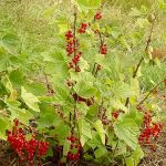 Red currant PLANTS FOR SALE | Ribes rubrum