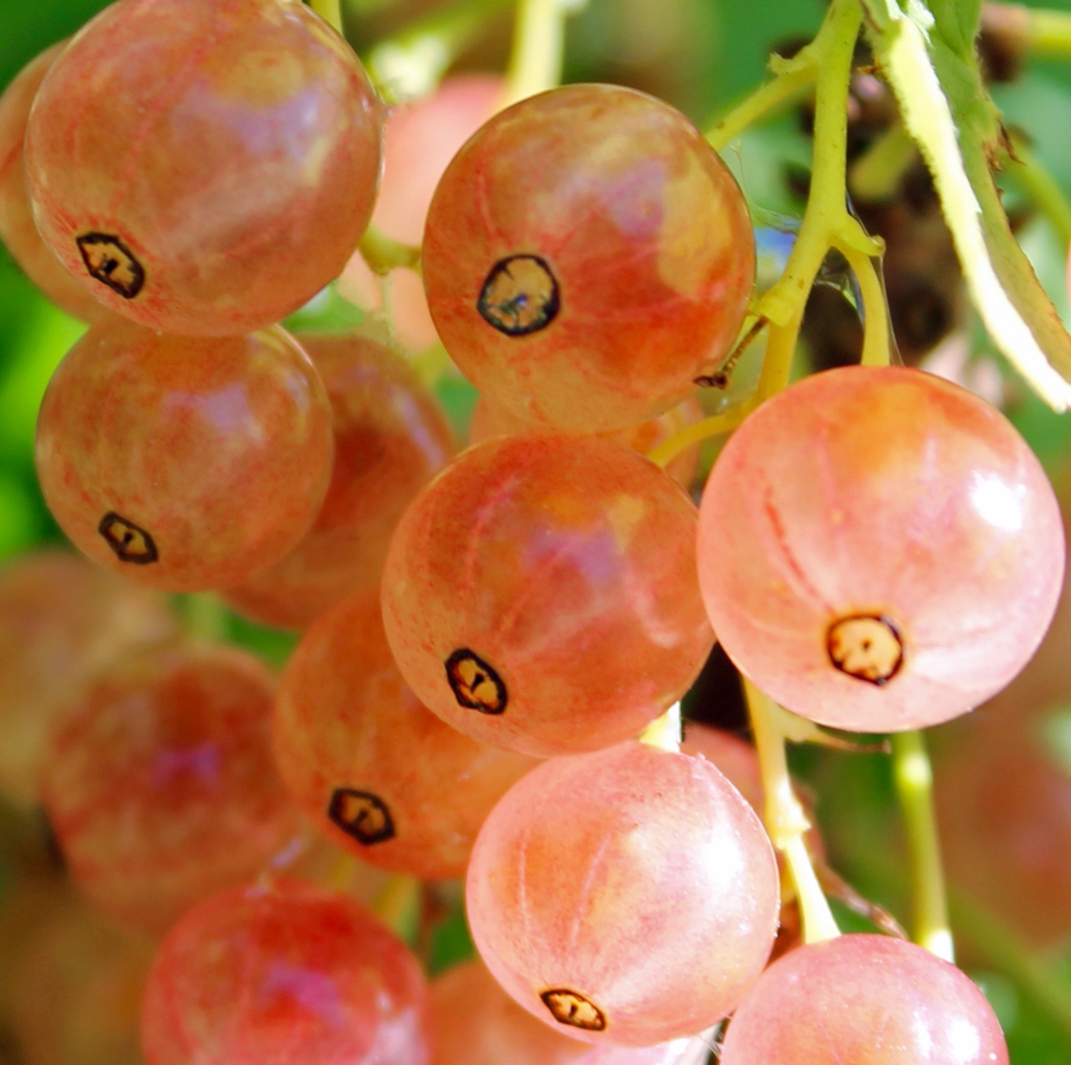 Pink Currant For Sale Ribes Rubrum Pink Champagne Canada