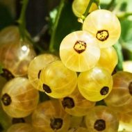 White Currant Bush FOR SALE | Ribes rubrum 'White Pearl'