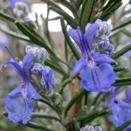 Rosemary PLANTS FOR SALE | Rosmarinus officinalis