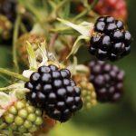Hardy Blackberry PLANTS | Rubus fruticosus 'Chester'