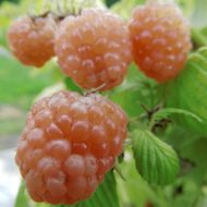 Rubus idaeus Anne gold yellow 190x190 - Rubus idaeus 'Anne'