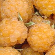 Anne Yellow Raspberry FOR SALE | Rubus idaeus 'Anne'