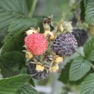 Rubus occidentalis 190x190 - Rubus occidentalis