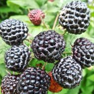 Jewel Black Raspberry | Rubus occidentalis 'Jewel'