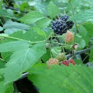 Black Raspberry FOR SALE | Rubus occidentalis