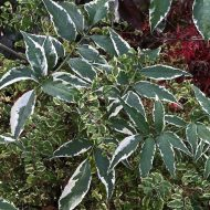 Variegated Elderberry FOR SALE | Sambucus nigra 'Variegata'