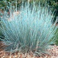 Little Bluestem FOR SALE | Schizachyrium scoparium 'Prairie Blues'