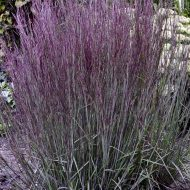 Smoke Signal Little Bluestem | Schizachyrium scoparium 'Smoke Signal'