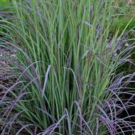 Twilight Zone Little Bluestem | Schizachyrium scoparium