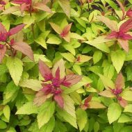 Magic Carpet Spirea FOR SALE | Spiraea x bumalda 'Walbuma'
