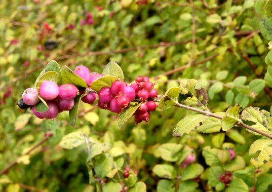 Chenault Coralberry | Symphoricarpos x chenaultii 'Brain de soleil'