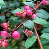 Snowberry FOR SALE   Symphoricarpos x chenaultii 'Hancock'