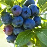Highbush Blueberry Plants for Sale | Vaccinium corymbosum 'Patriot'