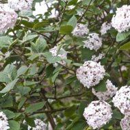 Korean Spice Viburnum | Viburnum carlesii