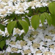 Viburnum plicatum Lanarth flower leaves 190x190 - Viburnum plicatum 'Lanarth'