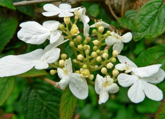 Japanese Snowball FOR SALE | Viburnum plicatum 'Summer Snowflake