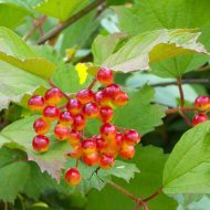 American Cranberrybush FOR SALE | Viburnum trilobum