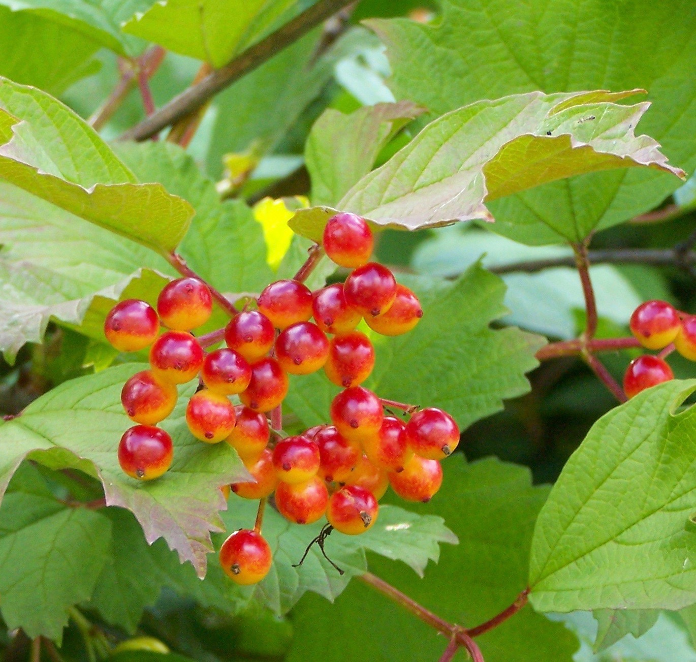 American Cranberrybush For Sale Viburnum Trilobum Canada