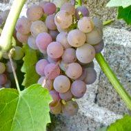 Hardy Grape Variety   Somerset Grape   Vitis 'Somerset'