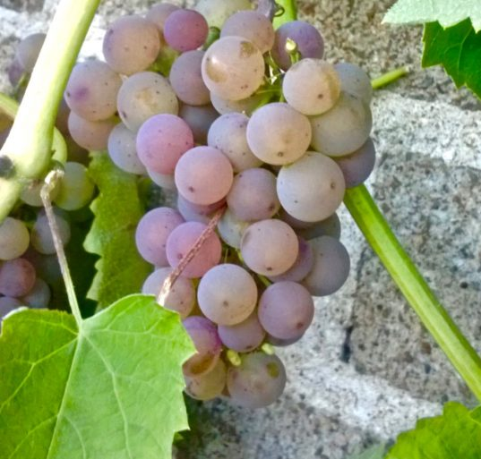 Hardy Grape Variety | Somerset Grape | Vitis 'Somerset'