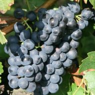 Hardy Black Grape Vines FRUIT | Vitis 'Trollhaugen'