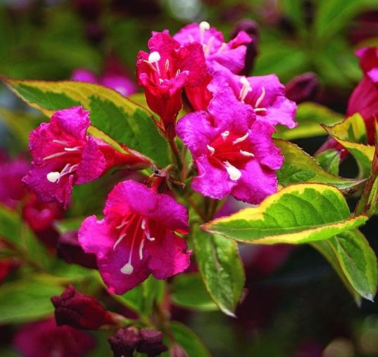 BUY WEIGELA PLANT French Lace | Weigela florida 'Brigela'