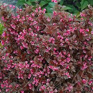 Purple Weigela for sale - Weigela Tango in bloom