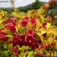 Golden Weigela | Weigela florida 'Looymansii Aurea'