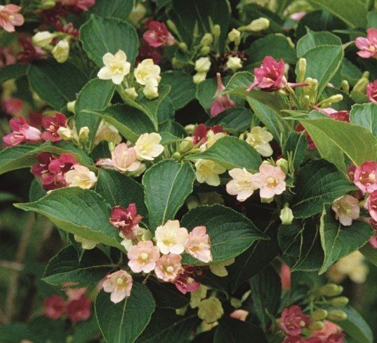 Bicoloured Weigela - Weigela florida 'Marjorie'