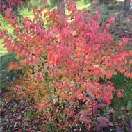 burning bush fall color - euonymus alatus 'Compactus'