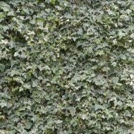 Glacier Ivy | Variegated Ivy | Hedera helix 'Glacier'